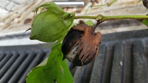 Cotton boll infected by disease