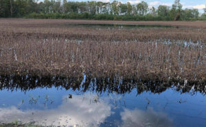 Flooded soybean field in North Carolina after Hurricane Florence_Photo from SE Farm Press