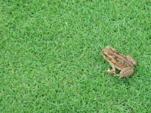 Frog on bermudagrass